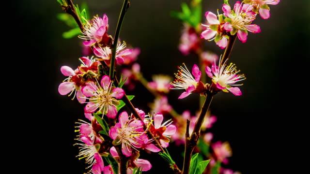 時間経過の hd 1080 ビデオで咲いている畑の桃花。 - 雌しべ点の映像素材/bロール