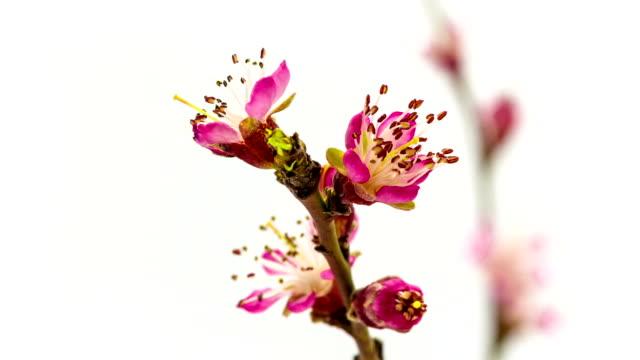 園の桃の花