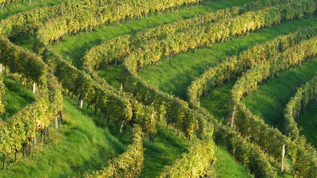 HD: Vineyard Rows