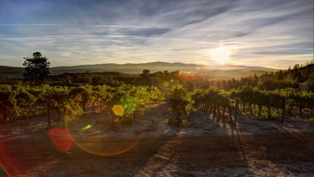 vineyard sunrise - vineyard stock videos & royalty-free footage