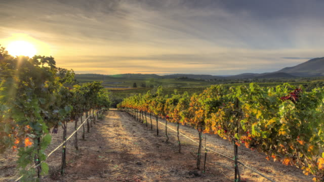 vineyard sunset - viniculture stock videos & royalty-free footage