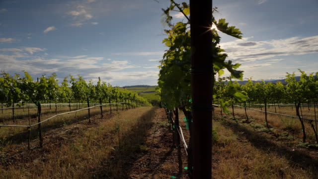 Vineyard Sunshine