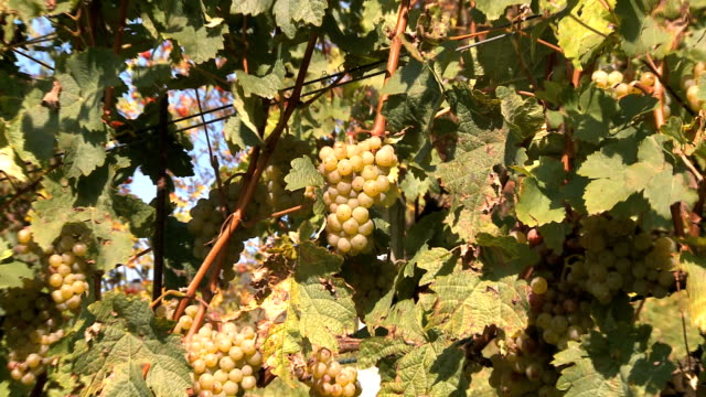 vineyard - weinberg stock-videos und b-roll-filmmaterial