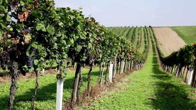 Vineyard with blue grape