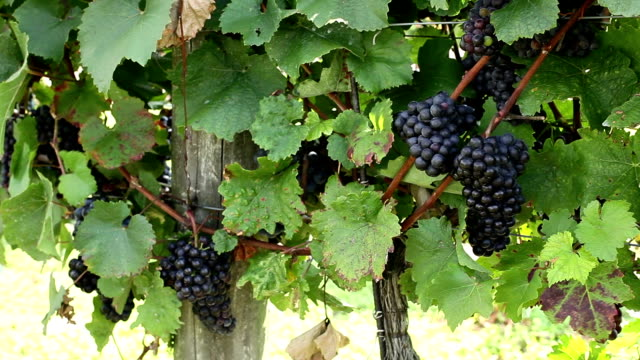 vineyard with blue grape - grape leaf stock videos and b-roll footage