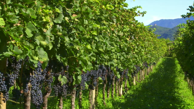 vineyard with red grapes (loopable) - herbst stock videos & royalty-free footage