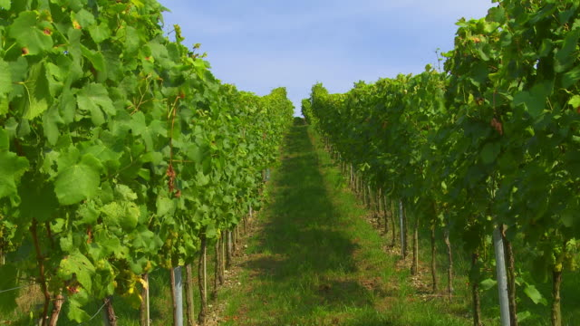 vineyard with ripe grapes - herbst stock videos & royalty-free footage