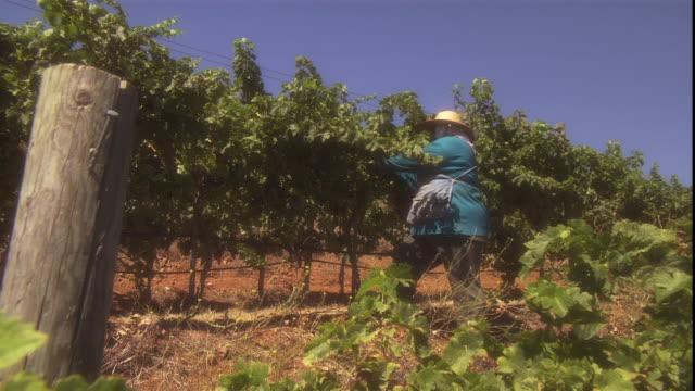a vineyard worker prunes vines. - beskära bildbanksvideor och videomaterial från bakom kulisserna