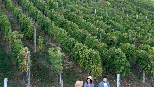 vineyard-aerial view - vine stock videos & royalty-free footage