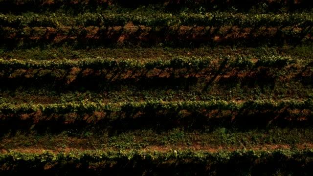 vídeos y material grabado en eventos de stock de vineyard.drone punto de vista - hoja de la vid