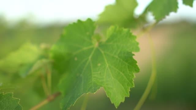 vídeos y material grabado en eventos de stock de vineyards at sunset, slow motion details of vine leafs with shallow depth of field. - hoja de la vid