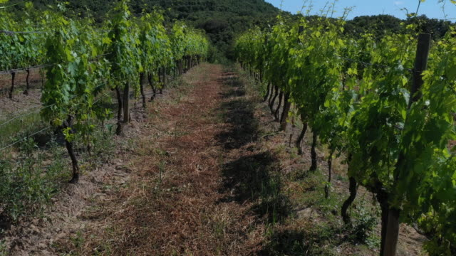 vineyards in montalcino, tuscany, italy - italian culture stock videos & royalty-free footage