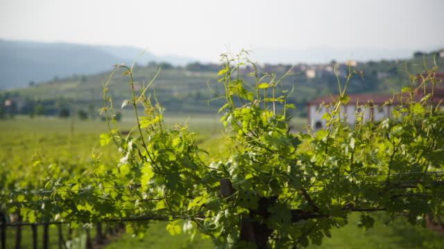 vídeos y material grabado en eventos de stock de vineyards in spring - hoja de la vid