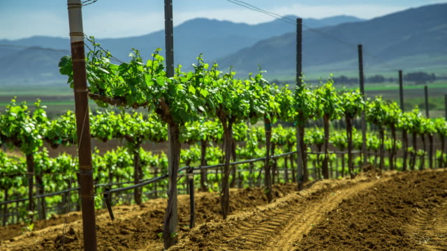 vídeos de stock e filmes b-roll de vineyards on rolling hills - motion control timelapse - vinha