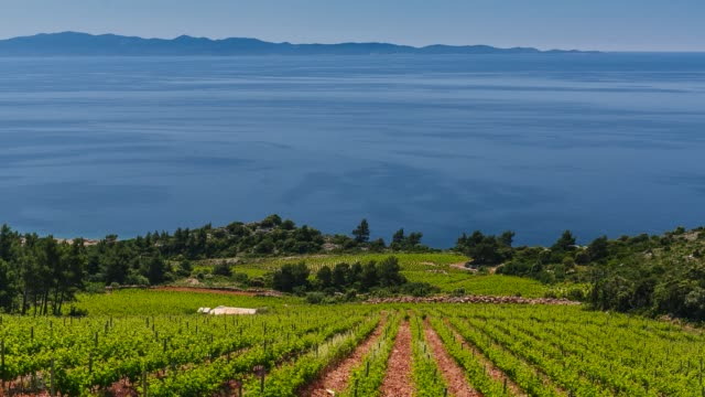 Vineyards on the Island Peljesac, Dalmatia, Croatia