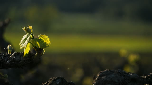 vineyards, pic saint loup, claret,gard, occitanie, france - grape leaf stock videos and b-roll footage