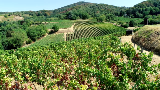 vineyards pictured on a searing 34 degrees celcius hot day on august 6 2018 in bensheim germany the vines suffer from the extreme summer heat and... - rankenpflanze stock-videos und b-roll-filmmaterial