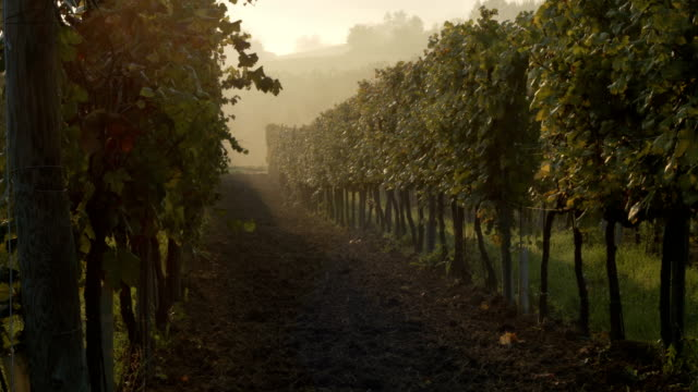 vineyards row in the fog in autumn at sunrise - piemonte video stock e b–roll