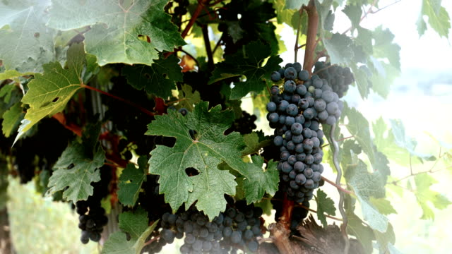 vineyards with red wine grapes - grape leaf stock videos and b-roll footage