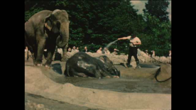 vintage home movie footage of elephants being cared for in a zoo in the united kingdom circa 1964. - british culture stock videos & royalty-free footage