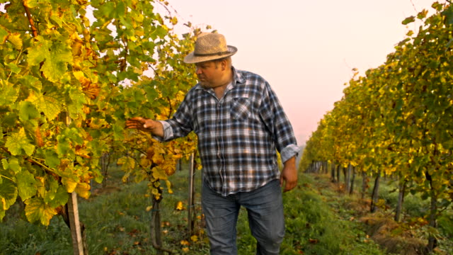 TS Vintner Inspecting The Ripeness Of Grapes