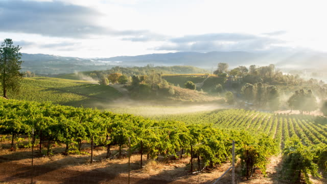 vinyard in morning mist - winemaking stock videos & royalty-free footage