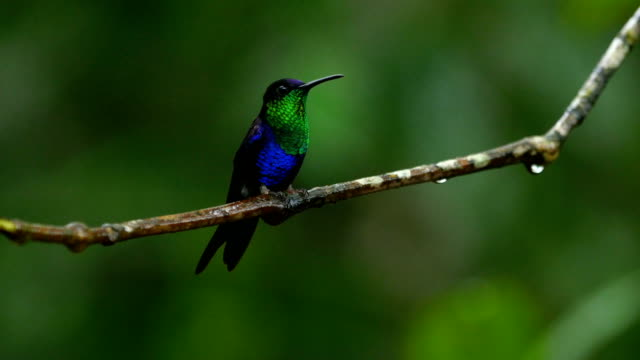 violet-crowned woodnymph (thalurania colombica colombica) - hummingbird stock videos and b-roll footage