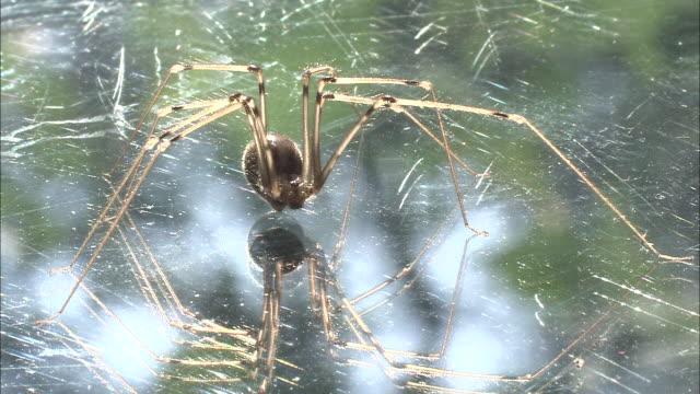 a violin spider hangs in a web. - spinnennetz stock-videos und b-roll-filmmaterial