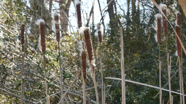 virginia cattails in swamp - bulrush stock videos & royalty-free footage