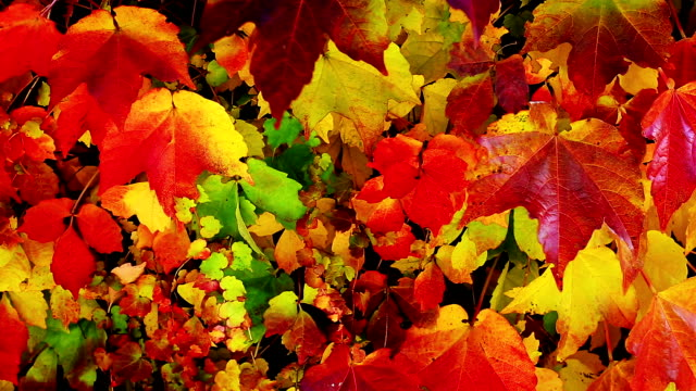 virginia creeper in autumn - grape leaf stock videos and b-roll footage