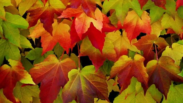 Virginia creeper in autumn