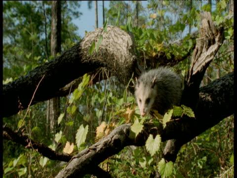 virginia opossum climbs down branch, virginia - bbc stock videos and b-roll footage