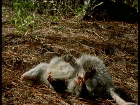 vídeos y material grabado en eventos de stock de virginia opossum playing dead, virginia - dead animal