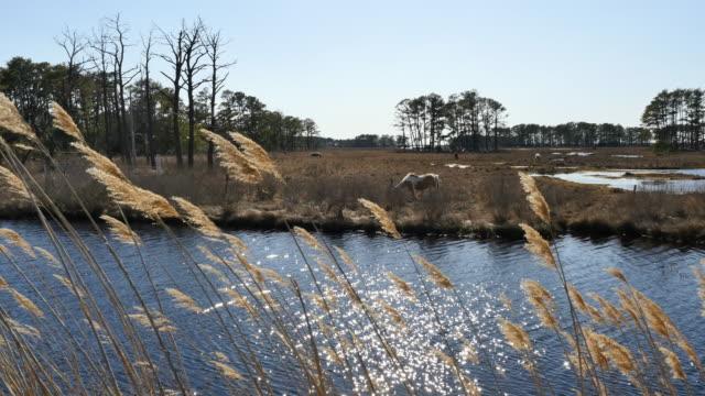 virginia ponies beyond reeds and water - バージニア州点の映像素材/bロール