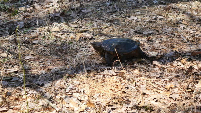 virginia snapping turtle walking on leaves - zuschnappen stock-videos und b-roll-filmmaterial