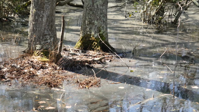 virginia trees rise from swampy water - swamp stock videos & royalty-free footage