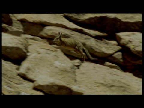 viscacha leaps and bounds over rocks - bbc stock videos and b-roll footage