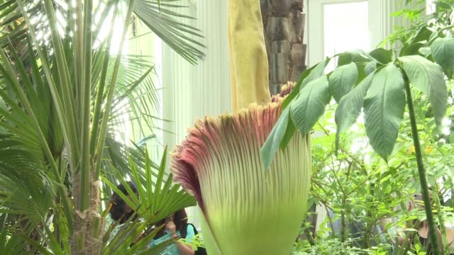 vídeos y material grabado en eventos de stock de visitors flood into new york botanical garden to see a blooming corpse flower a rare gigantic plant famous for its stench - malos olores