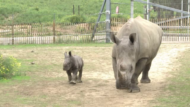 vídeos de stock, filmes e b-roll de visitors gather at a french zoo to see goliath a white rhino born on september 18 in rhônealpes in the southeast of france voiced newborn white rhino... - rhône alpes