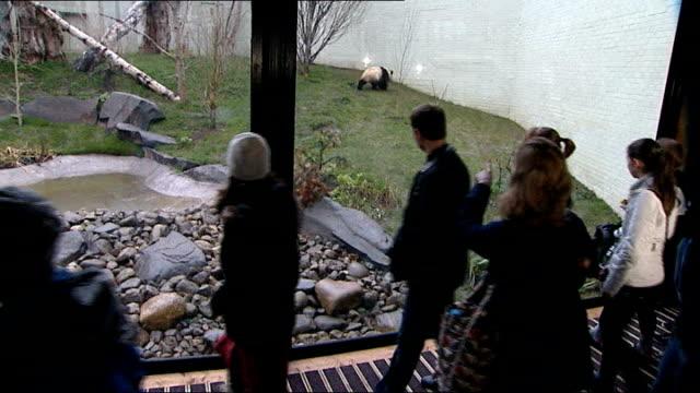 visitors to edinburgh zoo welcome pandas recently arrived from china; scotland: edinburgh: edinburgh zoo: ext female panda tian tian roaming around... - オフビート点の映像素材/bロール