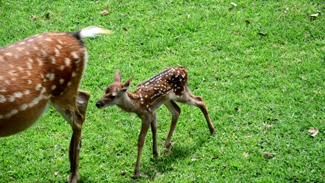 visitors to kasuga taisha shrine in nara watched with baited breath as a doe went into labor on june 12016 in narajapan the very day when the shrine... - nara prefecture stock videos and b-roll footage