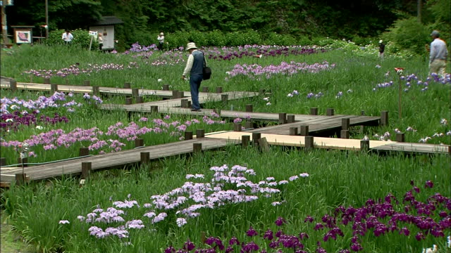 visitors walk across a wooden boardwalk through a field of blooming irises. - shiso stock videos & royalty-free footage