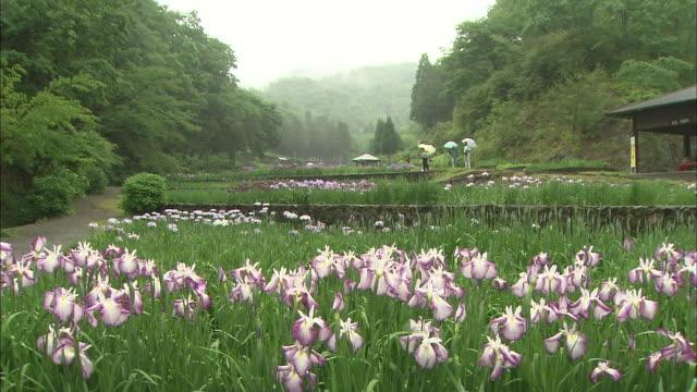 Visitors walk between flowerbeds of Japanese Irises.