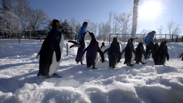 visitors watch penguins walking along a snowcovered path at asahiyama zoo in asahikawa hokkaido on dec 23 as the popular attraction began the same... - kamikawa subprefecture stock videos and b-roll footage
