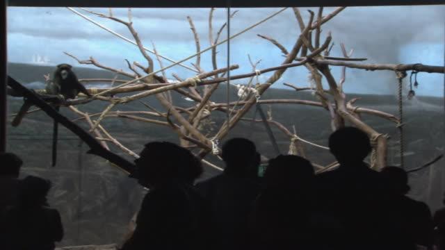ws visitors watching de brazza's monkeys in zoo enclosure / chicago, illinois, united states - 動物園点の映像素材/bロール