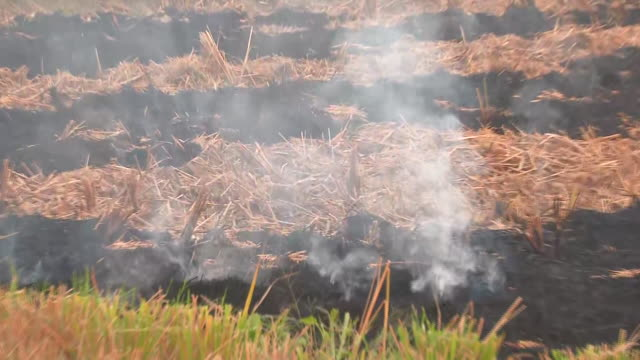 visuals of paddy stubble being burnt in the fields in chandigarh, on october 19, 2020. ashes can be seen on the ground as rest of the stubble was... - stubble stock videos & royalty-free footage