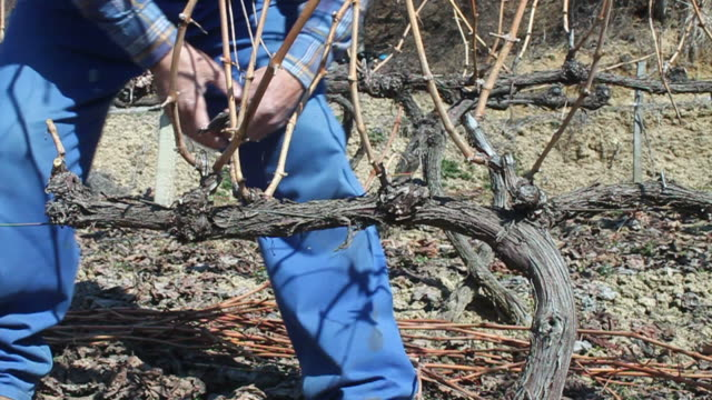 viticulture - pruning stock videos & royalty-free footage