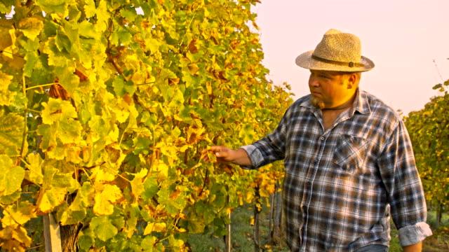 TS Viticulturist controlla l'uva