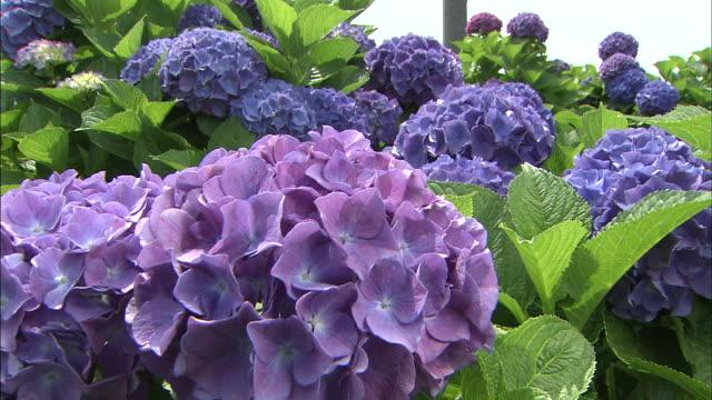 vídeos y material grabado en eventos de stock de vivid blue and purple hydrangeas tremble in a breeze. - hortensia