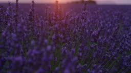 LENS FLARE: Vivid fields of lavender are illuminated by the golden setting sun.